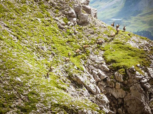 Alpensteinböcke, wirklich sehr beeindruckende Tiere
