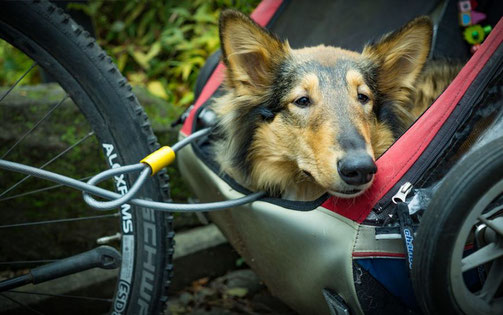 Hund in Fahrradanhänger