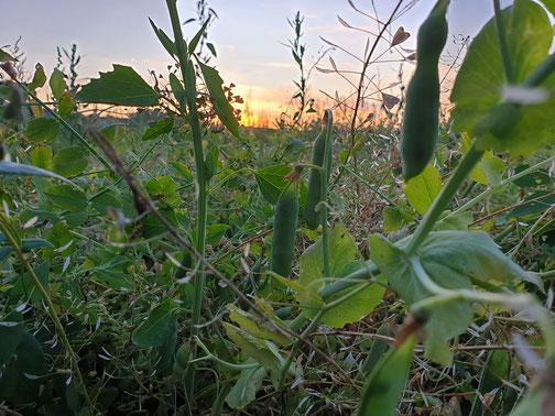 Erbsen 5 min vor der Ernte