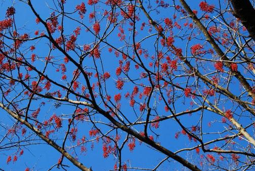 青空に赤い実が映えます 遠くに大木が何本か見えた
