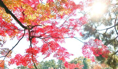 11月の京都御苑の様子 色あざやかな紅葉にが見ごろです