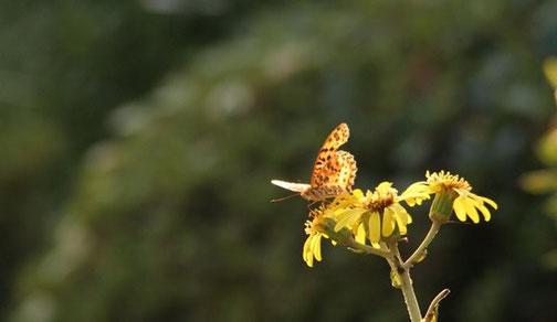 タテハチョウ