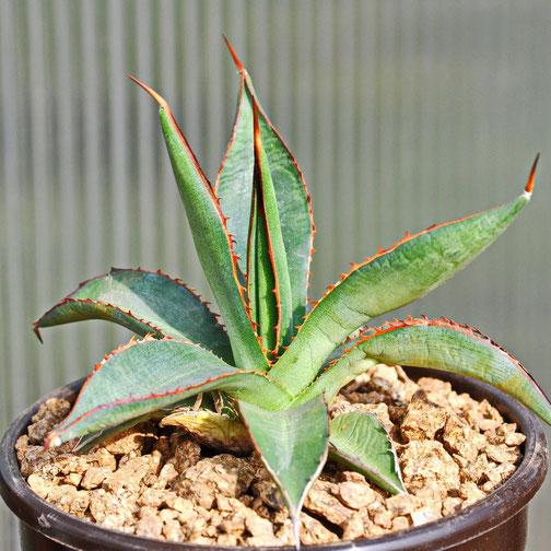 Agave arizonica x lophantha