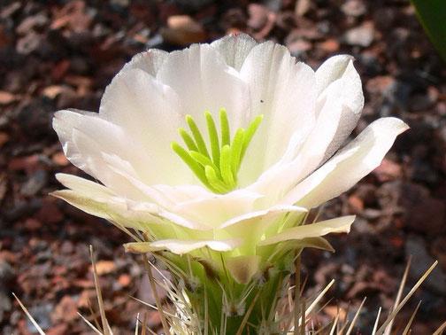 Echinocereus coccineus AG 11