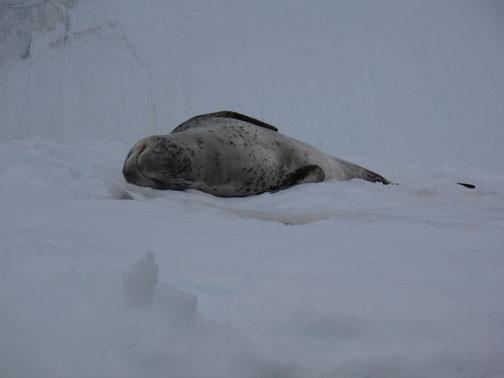 Wohlig schlummernd liegt hier ein Seeleopard. Aber VORSICHT! Er ist das gefährlichste Raubtier in der Antarktis.
