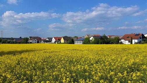 Lange werden die gelben Rapsfelder nicht mehr zu sehen sein...