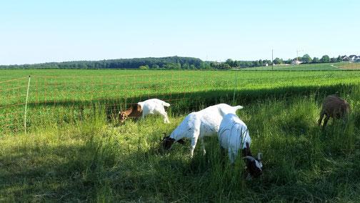 Kurz vor Radelstetten treffe ich auf ein paar Ziegen...