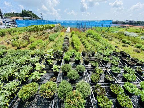 南風を通しやすく配置されたハーブの苗と植え込み