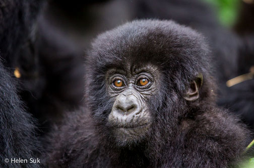 Baby Gorilla photo in Bwindi National Park - Uganda