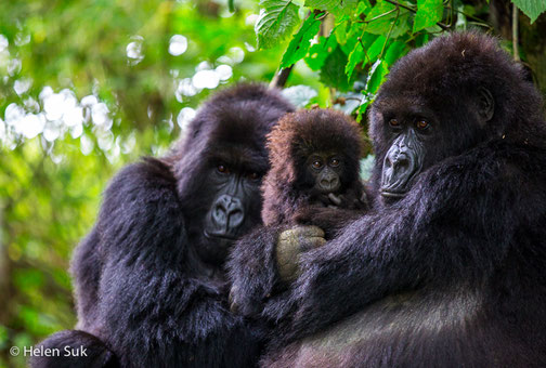 Gorilla Trekking Holiday Photo for  a Gorilla Family in Bwindi National Park -Uganda
