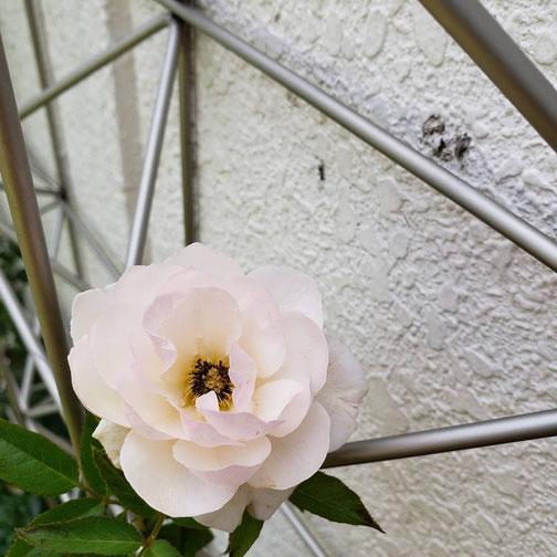 今日、庭に咲いてたバラ