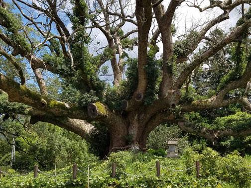 母が撮った楠木。光たっぷりでどっしり。って感じ。