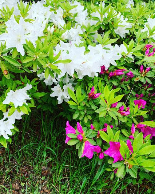 大泉に咲くきれいな花!