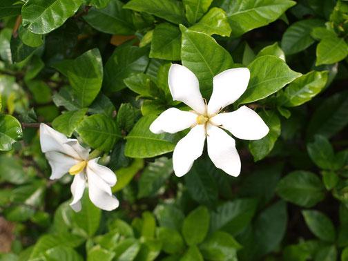 6月6日(2016) くちなしの白い花 クチナシ:アカネ科の常緑低木、よい香りの白い花が咲きます。府中市の多磨霊園にて