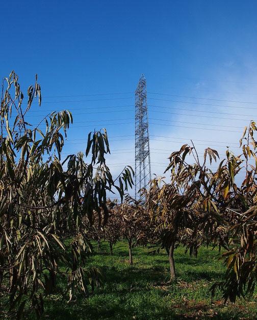 12月16日(2014) 栗の木畑と鉄塔:府中市の住宅地にて