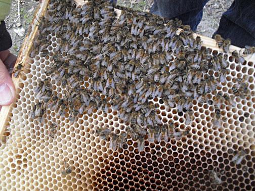 Bienen sitzen tot auf der Wabe.