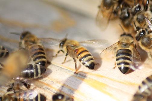 Der braune Punkt auf dem Hinterleib der Biene in der Mitte ist eine Varroa Milbe, die von der Biene in eine Brutwabe gelangt, dort vermehrt sie sich und schädigt die Bienenlarve...