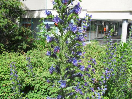 Blauer Natternkopf (Echium vulgare) ist eine beliebte Pollen und Nektarquelle für Bienen.