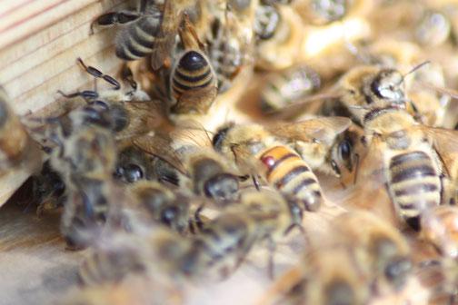 ... die jungen Varroa-Milben steigen dann wieder auf neue Bienen und befallen weitere Brutwaben. So kann das Bienenvolk dermaßen geschwächt werden, dass es den Winter nicht übersteht.