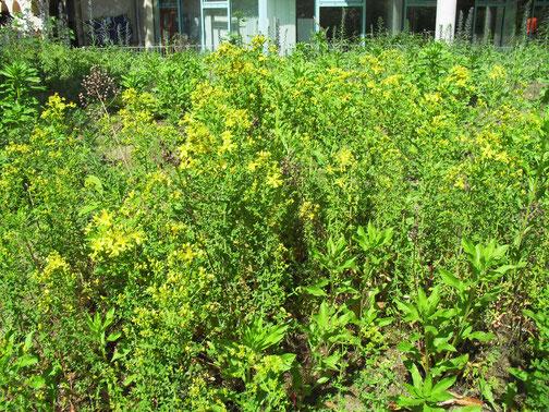 Johanniskraut (Hypericum perforatum) ist besonders bei Hummeln als Nahrungsquelle beliebt.