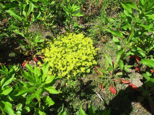 Mauerpfeffer (Sedum arce) ist typisch für trockene Rasen und Wegränder.