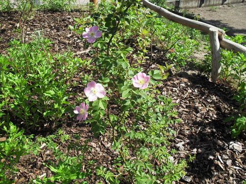 Hundsrosen (Rosa canina) wurden als ergiebiege Nahrungsquelle für Bienen in die Bienenhecke gepflanzt.