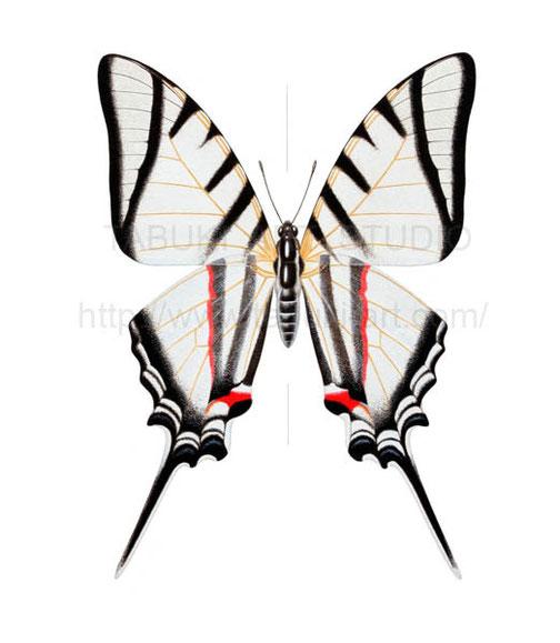 蝶のイラスト 昆虫 チョウ 細密画