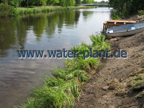 Röhrichtmatten nach dem Ausrollen am Ufer