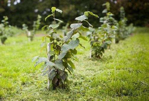 Einjähriger Trüffelbaum Hasel auf einer Trüffelplantage