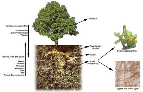 Trüffelbäume kaufen - Wie wächst ein Trüffel? Der Trüffelpilz (das unterirdische Pilzgeflecht), auch Myzel genannt, lebt in Symbiose (Win-Win-Verbindung) mit ihrer Wirtspflanze. Der Pilz versorgt den Wirtsbaum mit reichlich Wasser und Mikronährstoffen, da