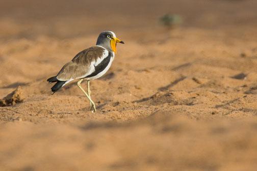 Vanneau à tête blanche, oiseau, Sénégal, Afrique, safari, stage photo animalière, Jean-Michel Lecat, photo non libre de droits