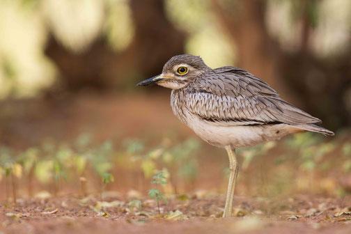 Oedicnème du Sénégal, oiseau, Sénégal, Afrique, safari, stage photo animalière, Jean-Michel Lecat, photo non libre de droits