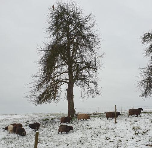 Skuddenschafe im Schnee