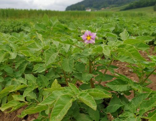 Blühende Kartoffelpflanze