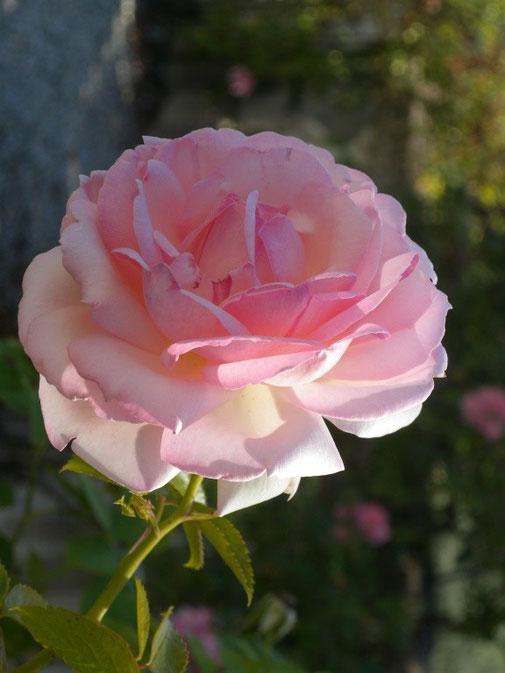 15. Juni 2012 - Rosen verblühn - Dornen bleiben