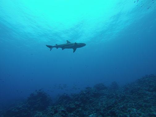 Rencontre avec le requin