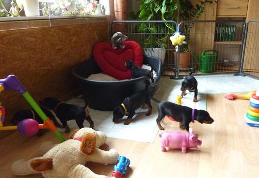 """Welpen ca. 4 Wochen alt, untersuchen ihr neues """"Heim"""" im Wohnzimmer ;-))"""