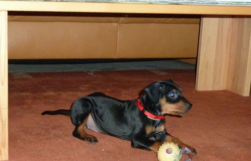 Dejsi spielt gerne auf dem Teppich unter dem Wohnzimmertisch;-))