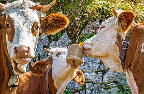 Kühe lecken an einem Leckstein der an einer Kette hängt. © fottoo - stock.adobe.com