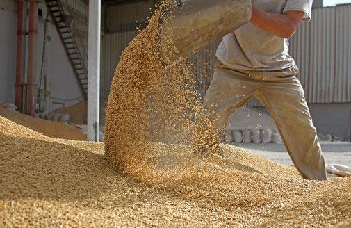 Getreidekörner werden umgeschaufelt. © Kybele - stock.adobe.com