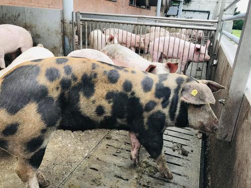 Junge, hübsche Frau im grünen Overall füttert kleine Schweinchen. © Countrypixel - stock.adobe.com