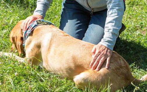 Palpation des cranialen Impulses beim Hund, eine Hand liegt auf der Halswirbelsäule, die 2. Hand auf der Lendenwirbelsäule