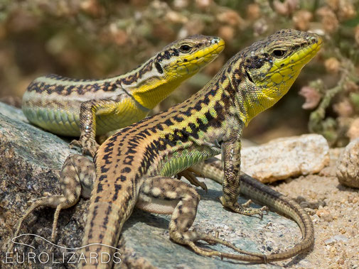 """A pair of Erhard's Wall Lizard (Podarcis erhardii): note the """"collar"""" at the throats."""