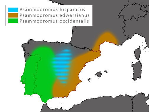 Distribution Psammodromus hispanicus