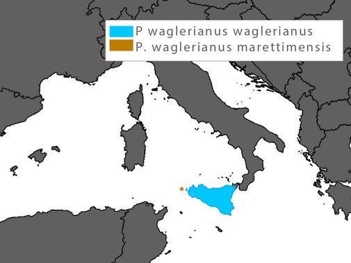 Podarcis waglerianus