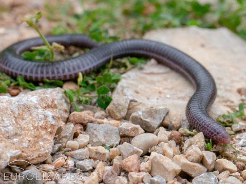 Anatolian Worm Lizard (Blanus strauchi): A strange cousin of the Lacertid Lizards.