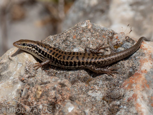 Levant Skink (Heremites auratus): Although looking quite similar, Skinks are not closely related to Lacertids.
