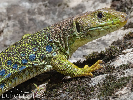 Ocellated Lizard (Timon lepidus) - an iconic, unmistakable species.