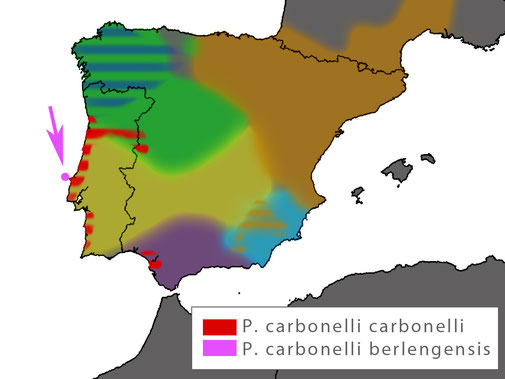 Distribution Podarcis carbonelli