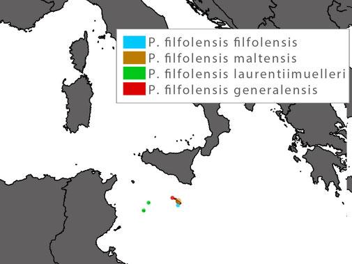Podarcis filfolensis